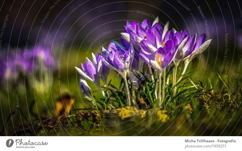 Krokusse im Sonnenschein Natur Pflanze grün schön weiß Landschaft Blume Wärme Umwelt gelb Frühling Wiese natürlich orange leuchten