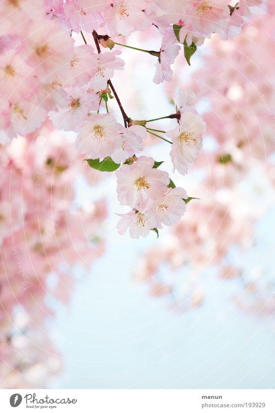 Kirschblüte Himmel Natur Baum Erholung Blüte Frühling hell rosa frisch Fröhlichkeit Ast Freundlichkeit Duft positiv Vorfreude Gartenarbeit