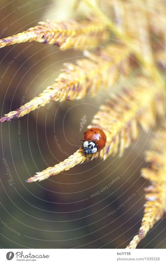 Marienkäfer Natur Pflanze Tier Sonne Herbst Schönes Wetter Farnblatt Garten Park Käfer braun gelb grau rot schwarz weiß Glücksbringer Tiergesicht