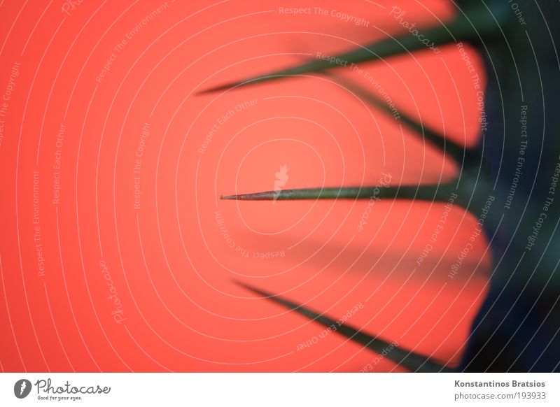 ganz schön spitz Pflanze Grünpflanze Topfpflanze Madagaskar Palme Stachel stachelig Spitze Dickfuß Dorn dünn Farbe orange grün Strukturen & Formen Sukkulenten