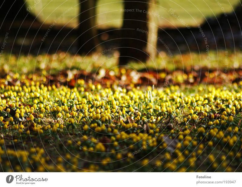 Noch mehr Winterlinge Umwelt Natur Landschaft Pflanze Urelemente Erde Frühling Klima Klimawandel Wetter Schönes Wetter Baum Blume Blatt Blüte Garten Park Wiese