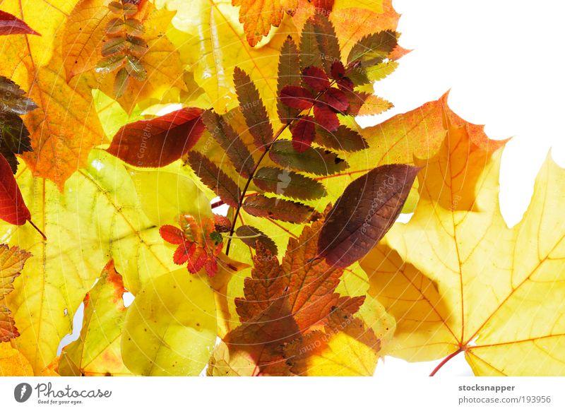 Natur Pflanze Blatt gelb Herbst orange Jahreszeiten Saison