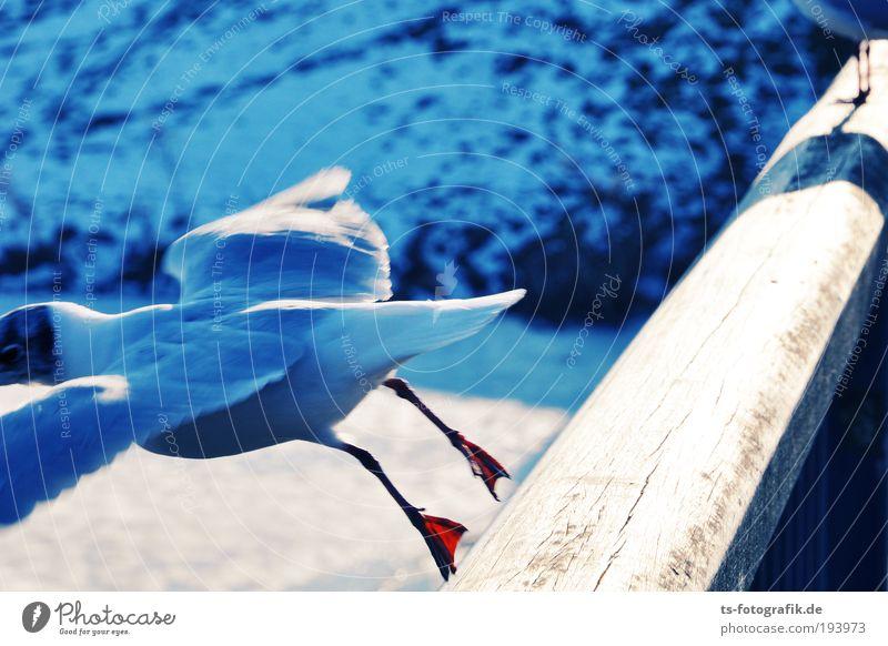 Ätsch! weiß blau Freude Winter Ferien & Urlaub & Reisen Tier Schnee springen Bewegung Holz Glück Eis Vogel lustig Tierfuß fliegen