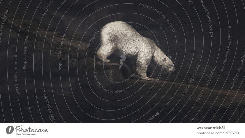 Climbing white polar bear artwork Design Klettern Bergsteigen Kunst Künstler Kunstwerk Felsen Tier Wildtier Zoo Bär Eisbär 1 ruhig standhaft Einsamkeit