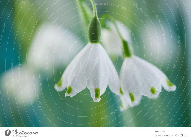 Frühlingsbecher harmonisch Sinnesorgane Duft Gartenarbeit Gärtnerei Natur Blume Blüte Märzenbecher Frühlingsblume Frühlingsfarbe Frühlingsgefühle Freundlichkeit