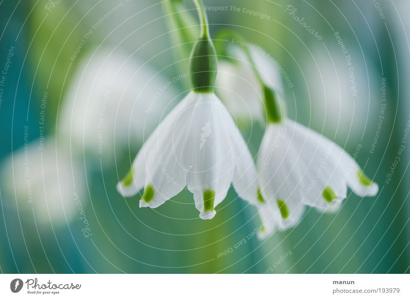 Frühlingsbecher Natur weiß Blume Blüte hell frisch Fröhlichkeit Freundlichkeit türkis Duft harmonisch Vorfreude Gartenarbeit Sinnesorgane Frühlingsgefühle