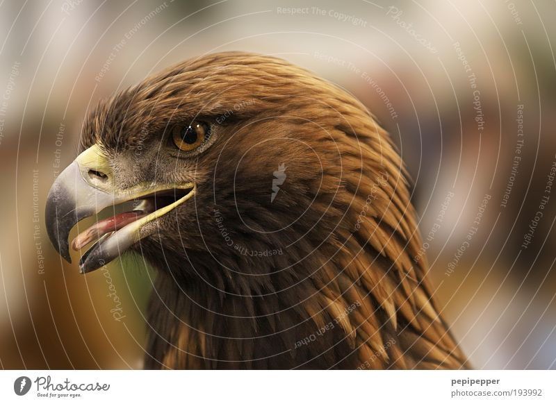 portrait Natur Tier Wildtier Vogel 1 füttern Aggression ästhetisch bedrohlich Coolness braun gelb Adler Jagd Fliege Luft Farbfoto Außenaufnahme Nahaufnahme