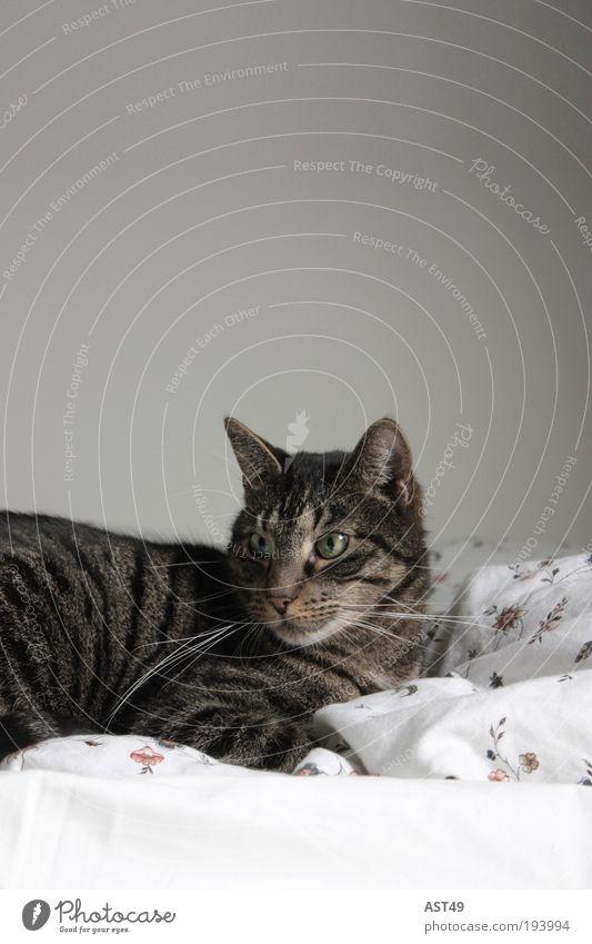 fauler Sonntag Tier Haustier Katze 1 genießen träumen schön kuschlig niedlich wild weich braun grau Glück Tierliebe ruhig Langeweile Trägheit bequem Erholung