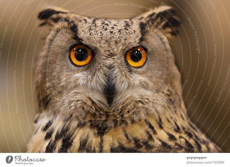 Augen(blick) schön Natur Wildtier Vogel 1 Tier ästhetisch braun Farbfoto Außenaufnahme Nahaufnahme Tierporträt Eulenvögel Eulenaugen Starrer Blick Tiergesicht