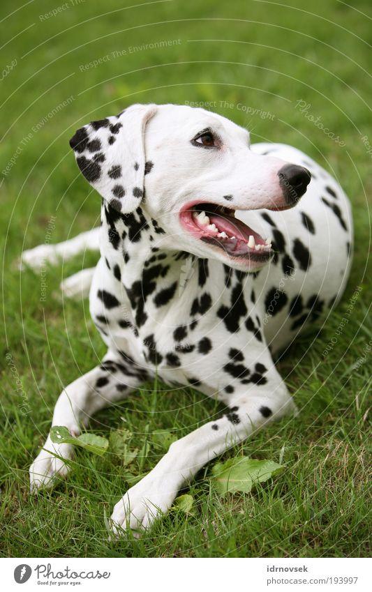 Dalmatiner im Grünen 2 Natur Sommer Garten Park Wiese Tier Haustier Hund Tiergesicht 1 liegen Blick Freundlichkeit schön grün rosa schwarz weiß Zufriedenheit