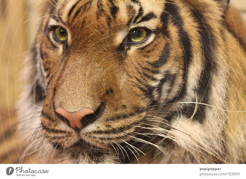 Eye of the Tiger Safari Expedition Natur Wildtier Katze 1 Tier glänzend ästhetisch wild gold Fell Auge Farbfoto Außenaufnahme Tag Tierporträt Blick nach vorn