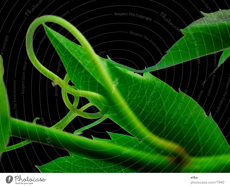 geschwungen Pflanze Blatt Ranke Efeu