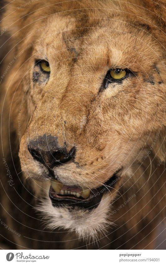 Boss Katze Natur alt Tier Auge Haare & Frisuren braun gold glänzend Wildtier Coolness bedrohlich Fell Wüste fangen Zoo