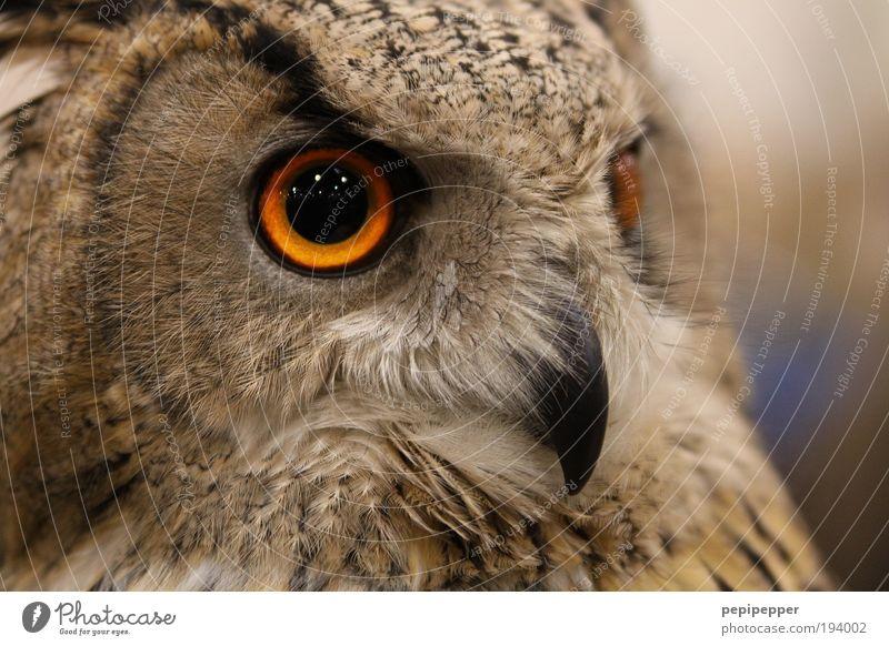 Blickkontakt Natur Landschaft Mond Tier Wildtier Vogel Tiergesicht Flügel Krallen Zoo 1 füttern Aggression ästhetisch bedrohlich groß braun Coolness Eulenvögel