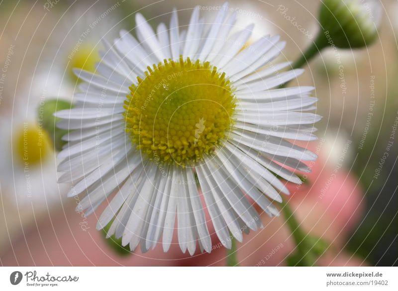 Blume weiß Blume gelb nah