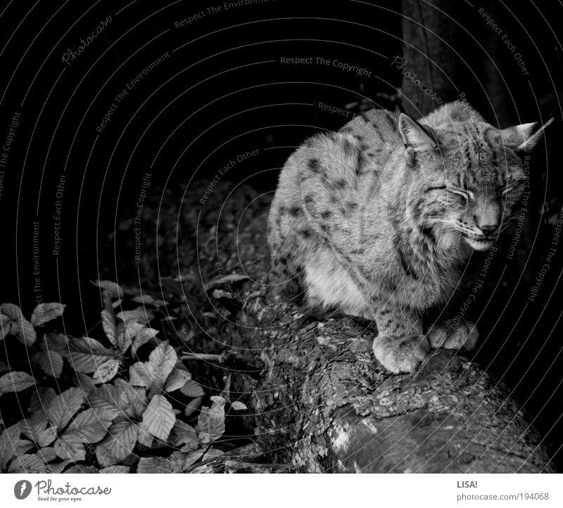 luchs Natur weiß schön Baum Pflanze Blatt Tier schwarz Wald Umwelt dunkel Landschaft elegant Wildtier ästhetisch Katze