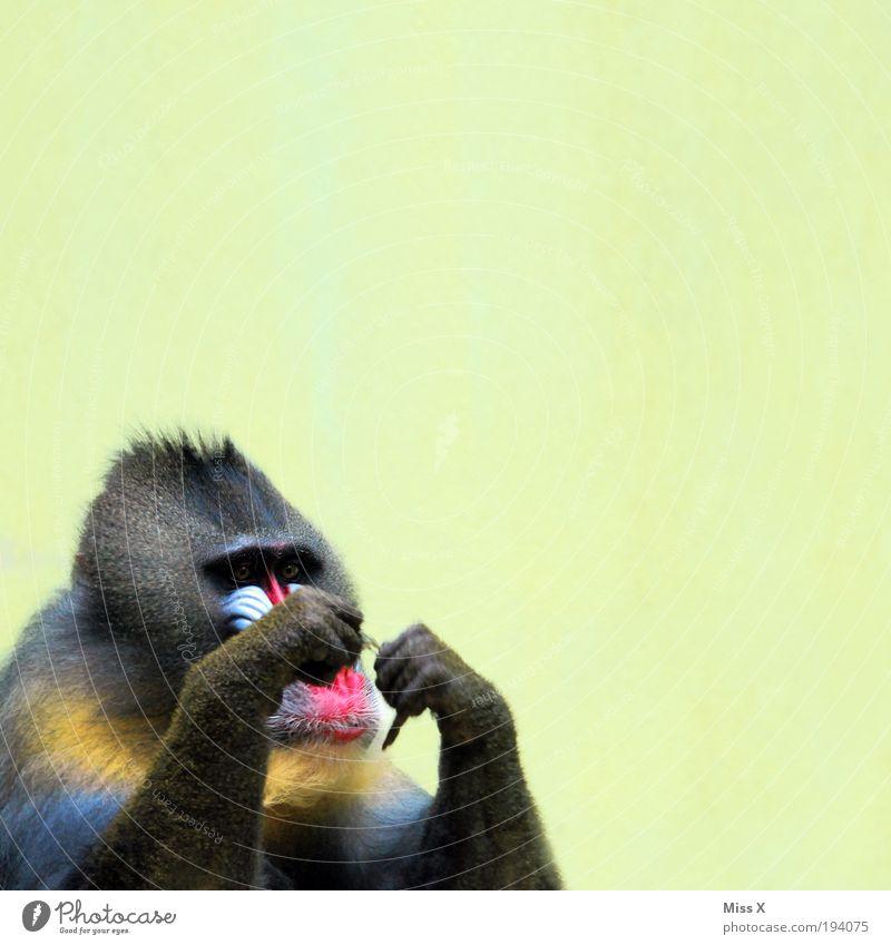 Einfädeln ist schon schwierig... Basteln Urwald Behaarung Tier Wildtier 1 lustig Konzentration Pavian Affen Farbfoto mehrfarbig Innenaufnahme
