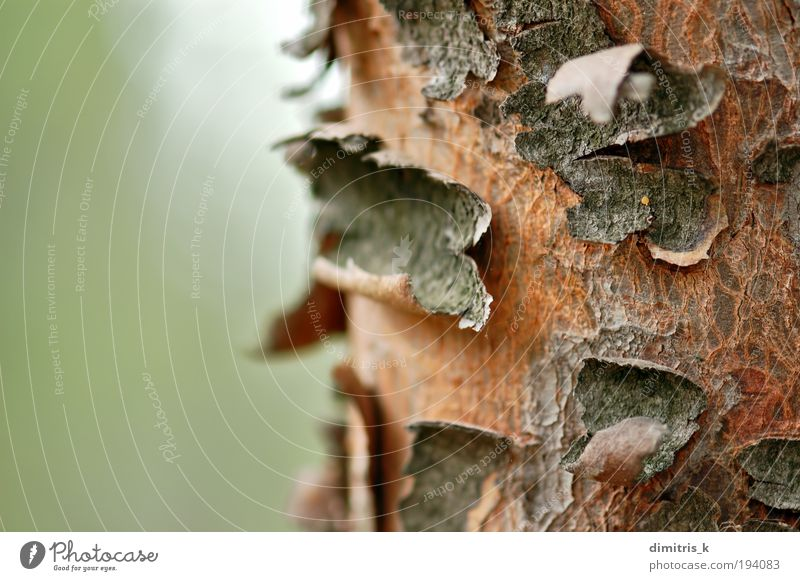 Stamm-Makro Natur Pflanze Baum natürlich weich braun grün Farbe Holz Konsistenz Hintergrundbild Kofferraum Rinde Botanik angeblättert abgeplatzt Absplitterung
