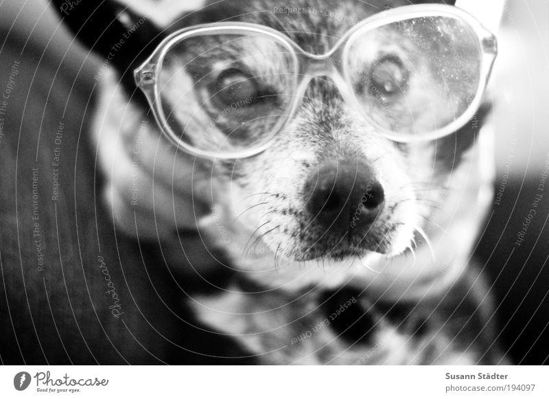 Axel mit Oma`s Nasenfahrrad Haustier Hund 1 Tier Blick Verstand Hundeblick klug Hornbrille Aschenbecher Brillenglasstärke blind Schnauze Fell grau
