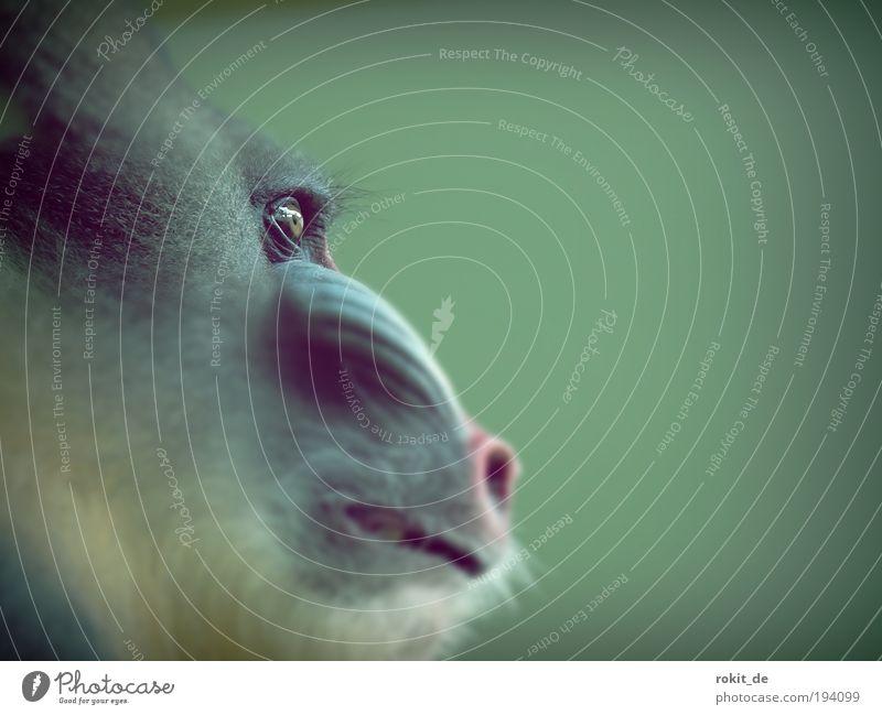Augenblick mal! Urwald Afro-Look Tier Zoo Affen Mandri Brunft glänzend leuchten streichen Aggression Coolness eckig Neugier trist wild blau grün Kraft