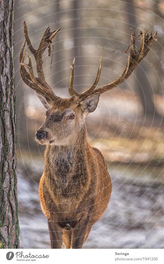 Ich bin der Chef Pflanze Tier Baum Wald Wildtier Tiergesicht Fell Zoo 1 beobachten Hirsche Rothirsch Horn Farbfoto mehrfarbig Außenaufnahme Menschenleer Tag