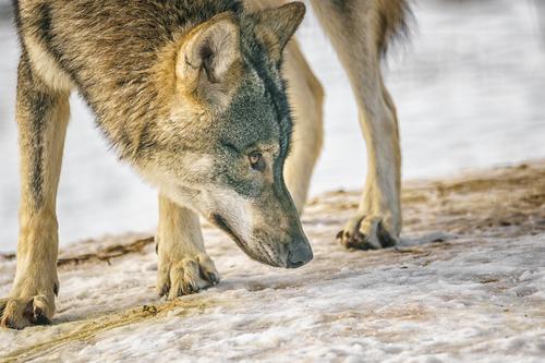 Europäischer Wolf Natur Hund Tier Wildtier Fell Tiergesicht Zoo Fressen Pfote Krallen Landraubtier Fährte