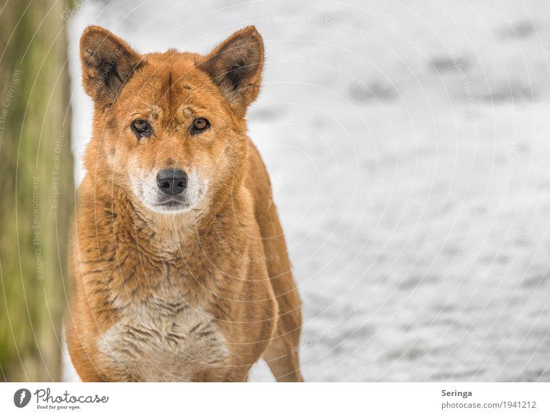 Dingo Tier Wildtier Tiergesicht Fell Pfote Fährte Zoo 1 Fressen Farbfoto mehrfarbig Außenaufnahme Menschenleer Textfreiraum rechts Tag Licht Schatten Kontrast