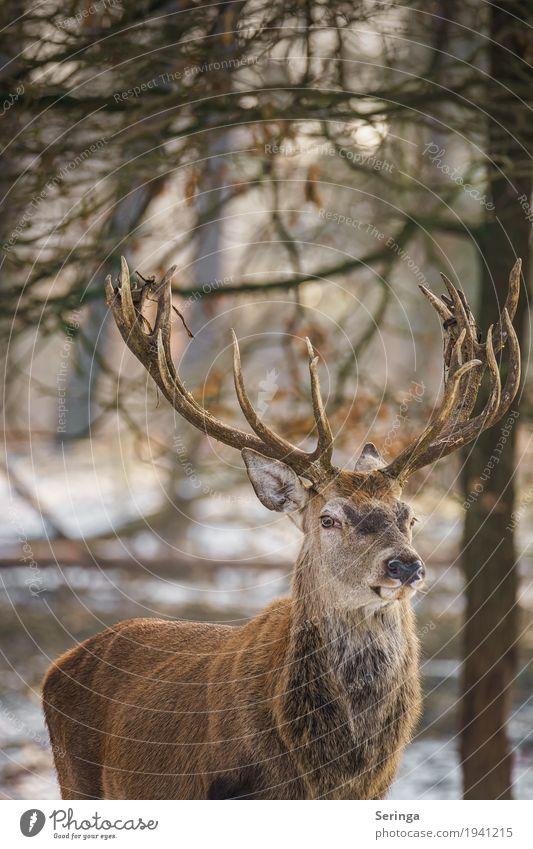 Skeptischer Blick Natur Pflanze Tier Wald Wildtier Tiergesicht Fell Zoo 1 Bewegung Fressen füttern Hirsche Rothirsch Horn Farbfoto mehrfarbig Außenaufnahme