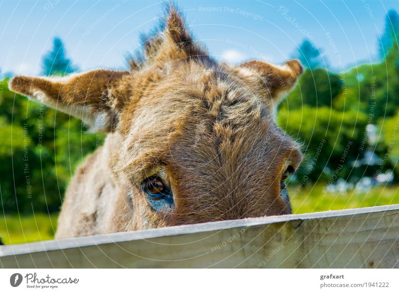 Trauriger Esel hinter Zaun Tier Haustier Nutztier Pferd Blick Traurigkeit Gefühle Auge Neugier Ohr Natur Säugetier verstecken Versteck hinten Holz Tierporträt