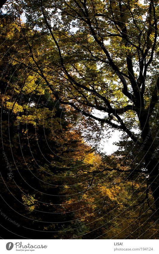 herbstwald Umwelt Natur Landschaft Pflanze Urelemente Luft Himmel Herbst Schönes Wetter Baum Blatt Grünpflanze Wildpflanze Blätterdach Baumkrone Wald bedrohlich