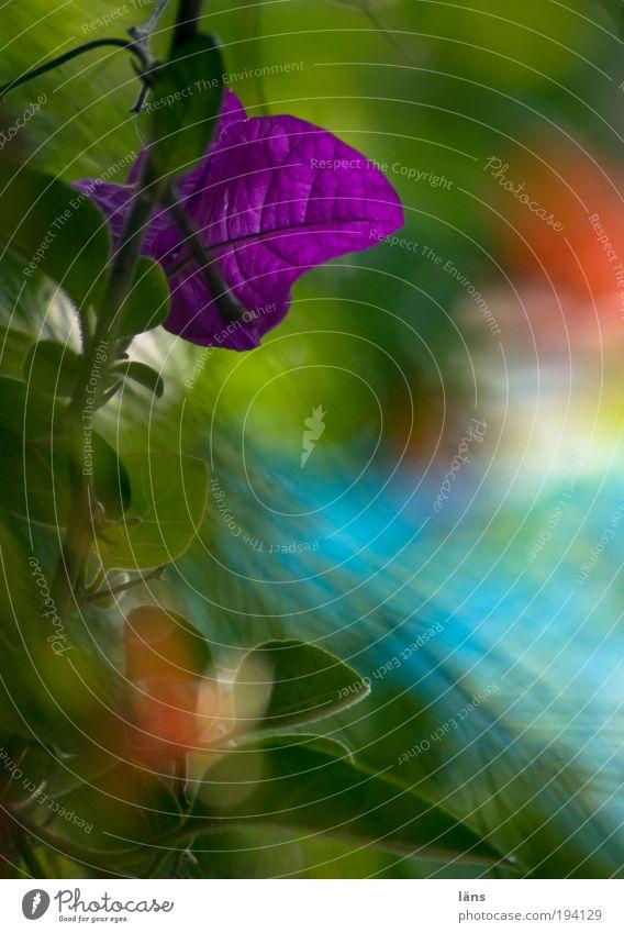 Blätterwerk Natur Pflanze Grünpflanze Blühend Freizeit & Hobby Idylle Wachstum Bougainvillea Kletterpflanzen Blatt Unschärfe Teneriffa Farbfoto Außenaufnahme