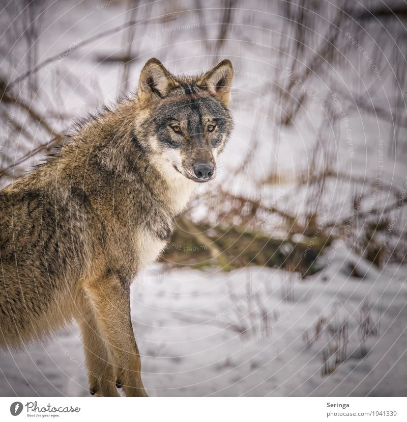Wolfsblick Tier Wildtier Hund Tiergesicht Fell Krallen Zoo 1 Rudel Jagd Landraubtier Farbfoto mehrfarbig Außenaufnahme Detailaufnahme Menschenleer