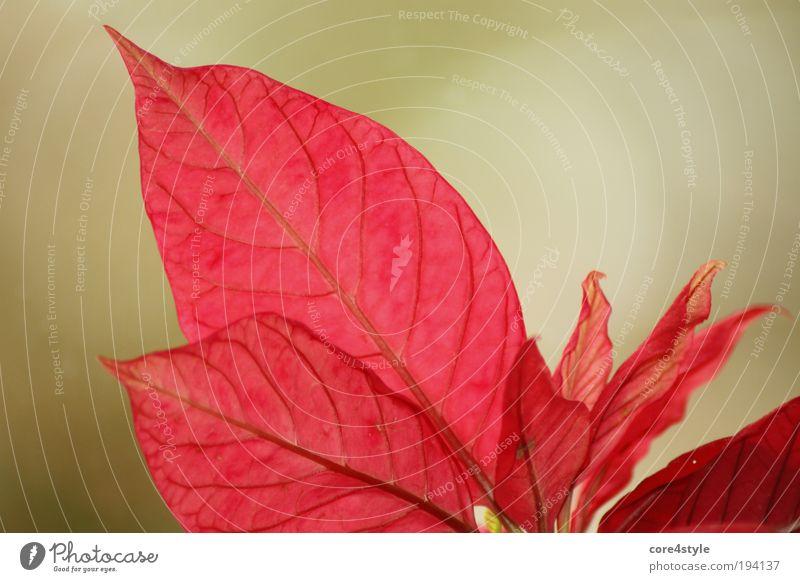 Rot wie ein Weihnachtsstern Pflanze Blume Blatt Blüte Topfpflanze exotisch fantastisch schön grün rot weihnachtsstern Farbfoto Nahaufnahme Detailaufnahme