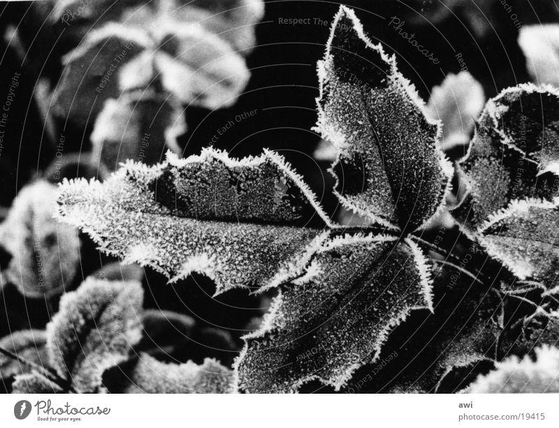 Frost Blatt Stechpalme kalt Makroaufnahme Raureif Schwarzweißfoto Zweig