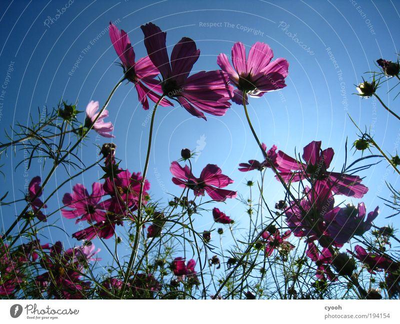 blue blue sky Natur Pflanze Himmel Wolkenloser Himmel Frühling Sommer Schönes Wetter Blume Blüte Blühend Duft genießen träumen Freundlichkeit Unendlichkeit