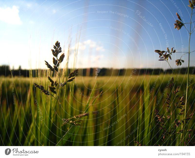 es ist Sommer... Himmel Natur blau grün schön ruhig Wärme Gras natürlich Feld Luft Wachstum frei gold genießen
