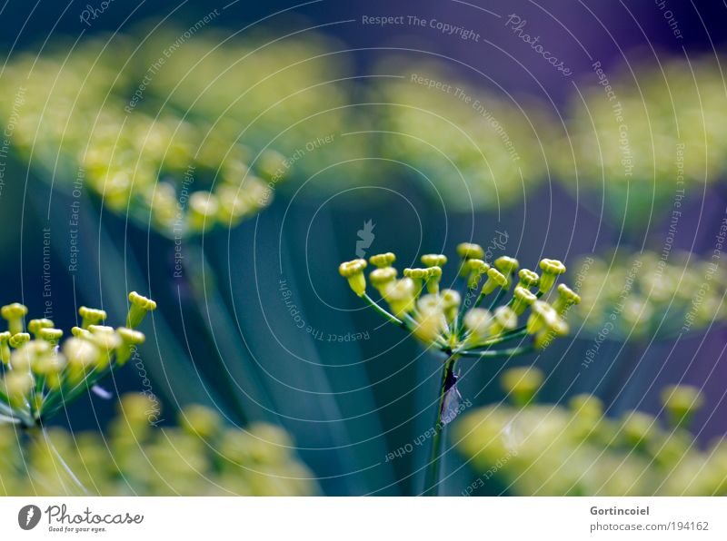 Farbenspiel Umwelt Natur Pflanze Frühling Sommer Blume Blüte Grünpflanze Nutzpflanze Dill Dillblüten Beet Wachstum frisch schön gelb grün violett türkis