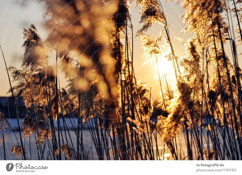 Schilfgras II Erholung Ferien & Urlaub & Reisen Freiheit Natur Wasser Wolkenloser Himmel Herbst Winter Schönes Wetter Eis Frost Pflanze Gras Schilfrohr Röhricht