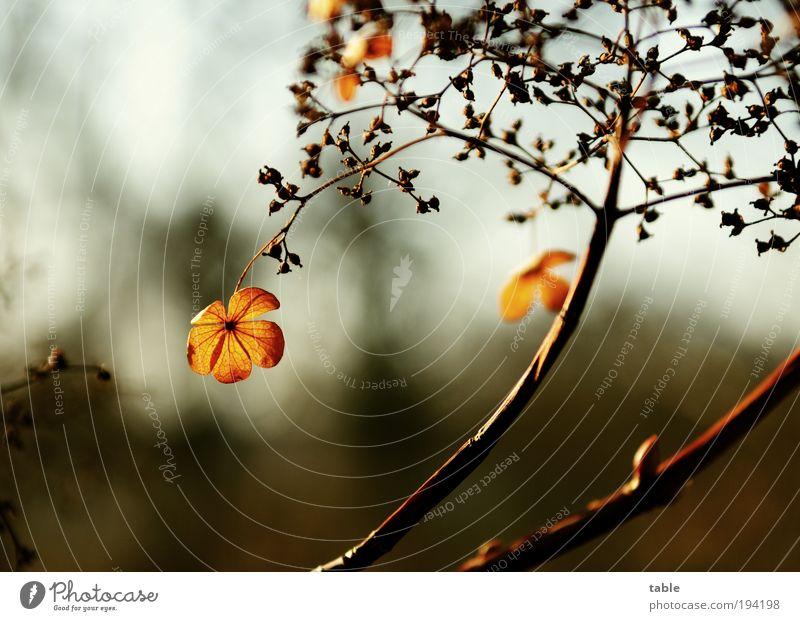 . / / Natur schön alt Blume Pflanze Blatt schwarz dunkel Herbst Blüte Frühling Park braun Umwelt gold Hoffnung