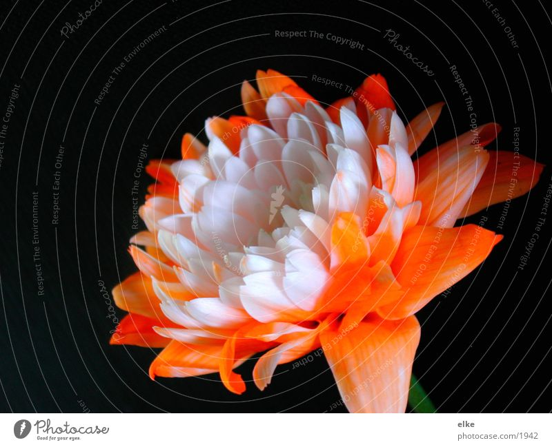herbst Pflanze Blume Makroaufnahme