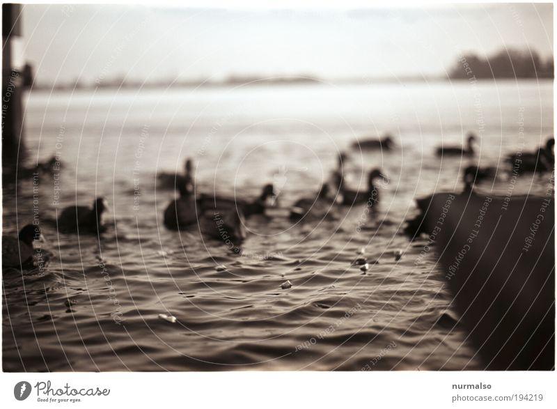 Fütterung Natur Wasser Pflanze Tier Winter Landschaft Umwelt Vogel Schwimmen & Baden natürlich Klima mehrere einfach Im Wasser treiben Flussufer Fressen