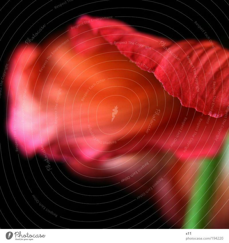 ein Hauch von Mohn Natur grün schön Pflanze rot Blume schwarz Gefühle Blüte Frühling Stimmung Park Kraft elegant ästhetisch Romantik