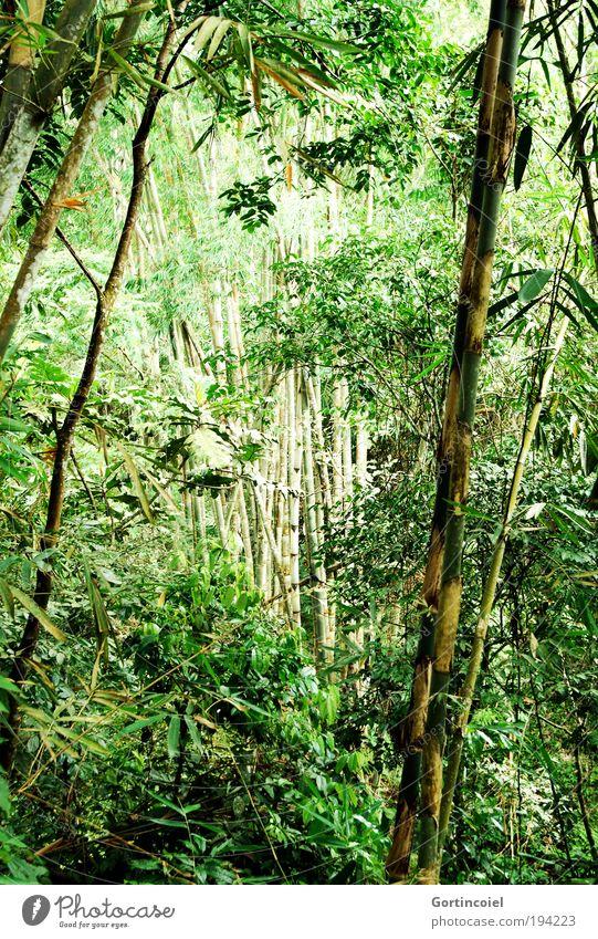 Bali Bamboo Umwelt Natur Pflanze Frühling Sommer Baum Gras Blatt Grünpflanze Wildpflanze exotisch Bambus Bambushalm Bambusrohr Wald Urwald Asien wild grün