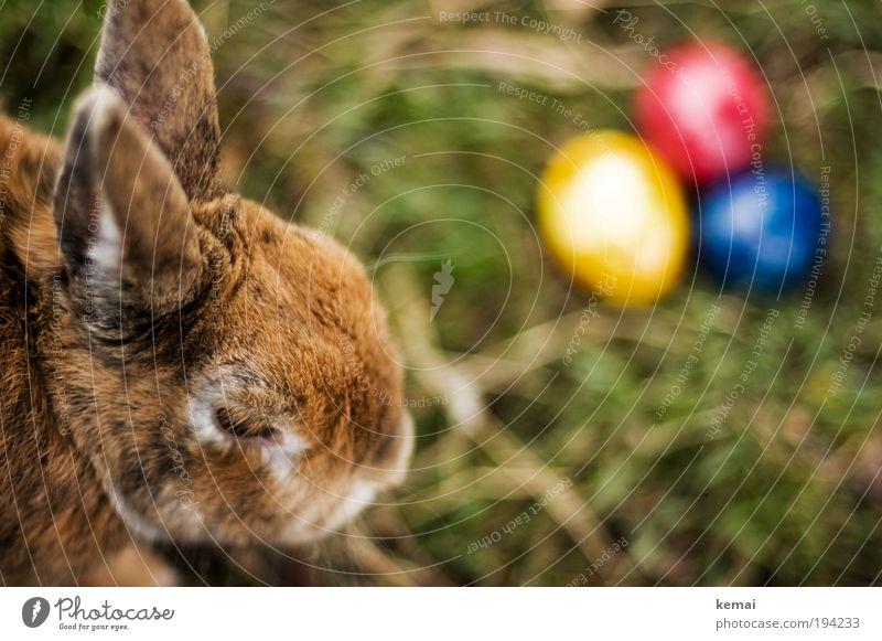 Zu Ostern ein paar Eier Natur blau rot Tier gelb Gras Frühling Garten braun Feste & Feiern Erde sitzen Tiergesicht Kultur Fell