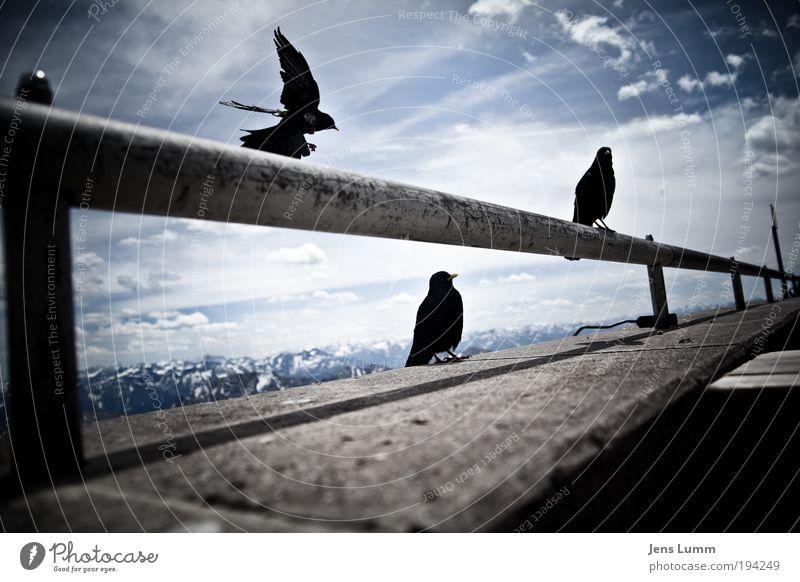 The Birds Landschaft Luft Himmel Wolken Sommer Schönes Wetter Alpen Berge u. Gebirge Gipfel Schneebedeckte Gipfel Tier Wildtier Vogel Flügel 3 Tiergruppe kalt