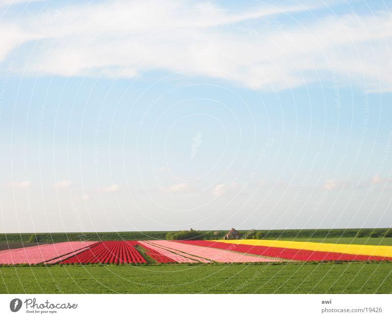 TulpenamDeich! Himmel Blume grün blau Landschaft Feld Erde Tulpe Deich