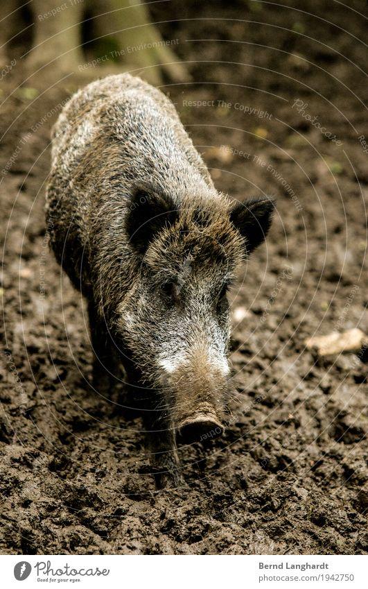 Wildschwein im Schlamm schön Tier Wald kalt Leben Herbst Gesundheit grau braun wild Zufriedenheit dreckig Erde Kraft Wildtier stehen
