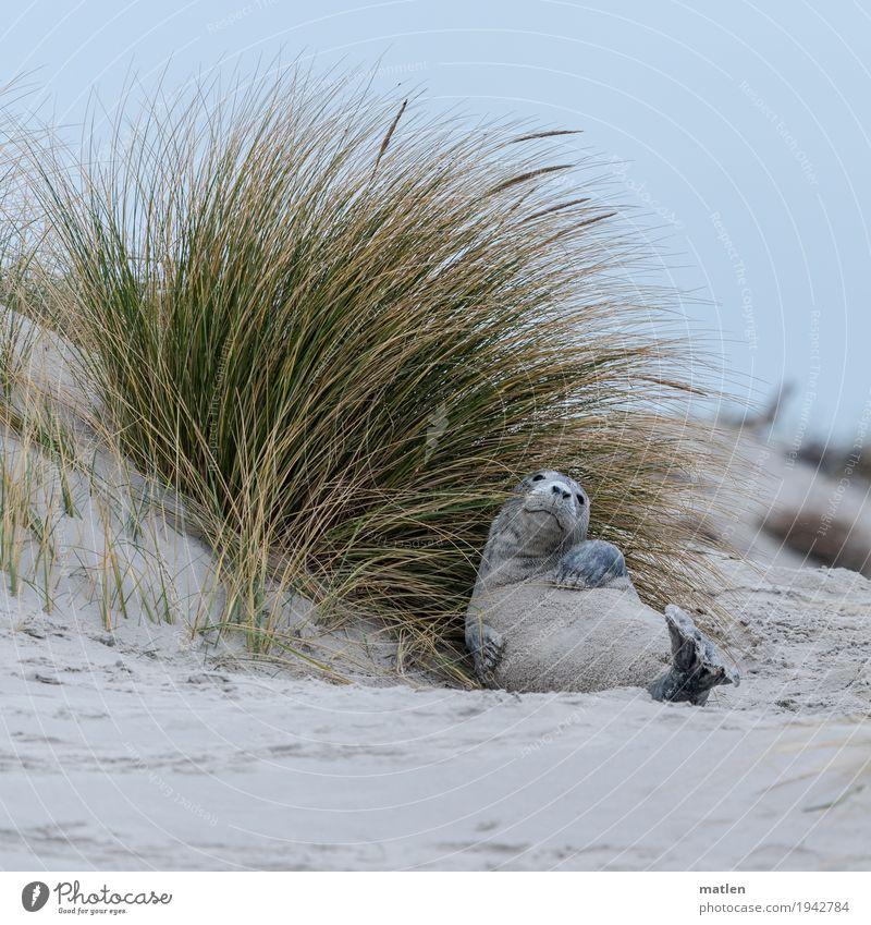 Wie man sich bettet Landschaft Winter Strand Meer Tier Tiergesicht Pfote 1 liegen Coolness blau gelb grau grün ruhig Seehund Düne Dünengras wälzen Wohlgefühl