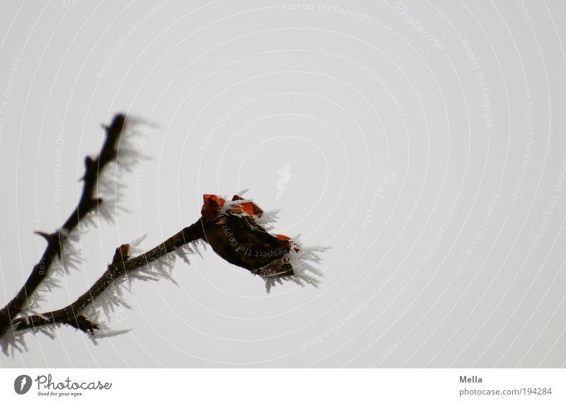Es ist noch nicht vorbei. Natur Pflanze Winter kalt grau Eis Wetter Umwelt Rose Frost Klima Vergänglichkeit Spitze natürlich frieren bizarr