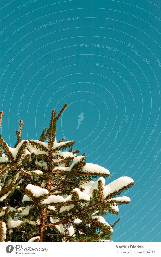 Tanne Natur grün Baum Pflanze Winter Landschaft Schnee glänzend dünn gigantisch Grünpflanze Wildpflanze
